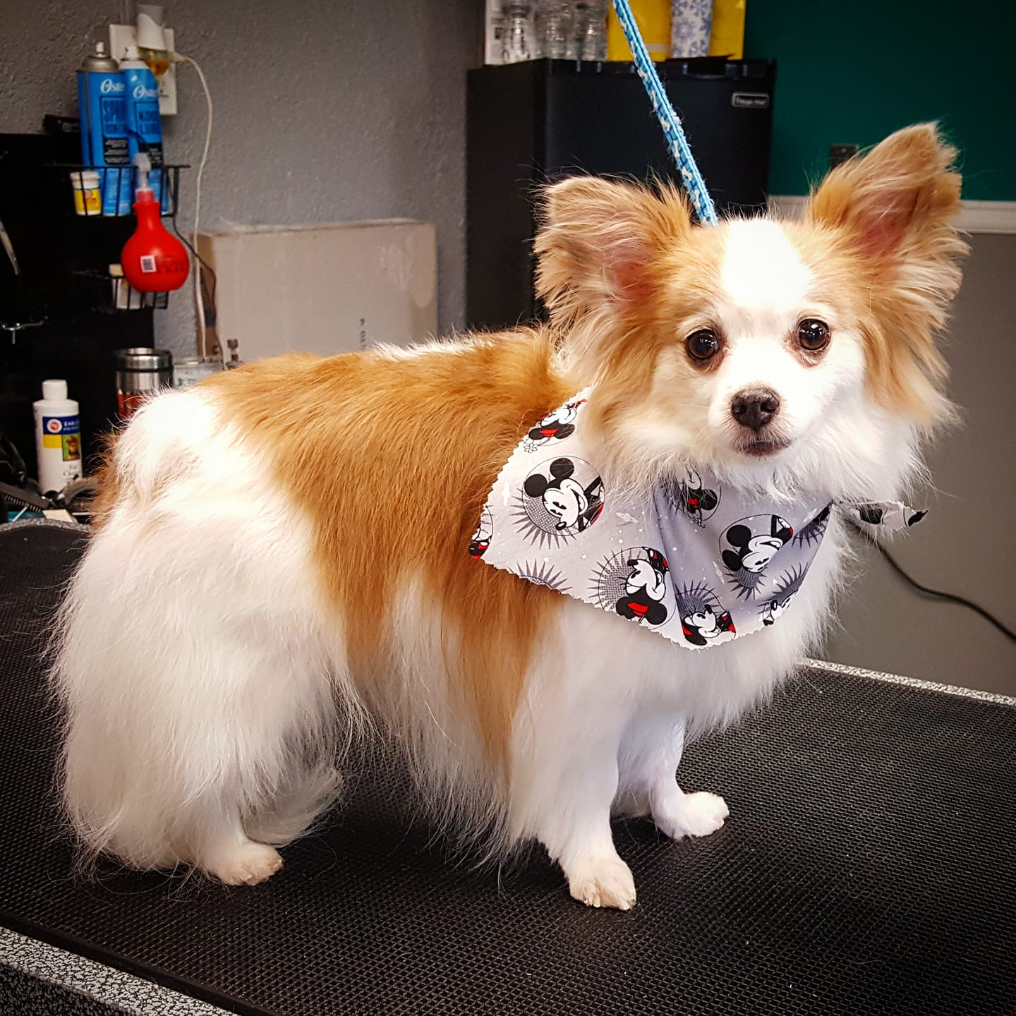 Dream team pet grooming walk in services both dog and cat solutioingenieria Choice Image